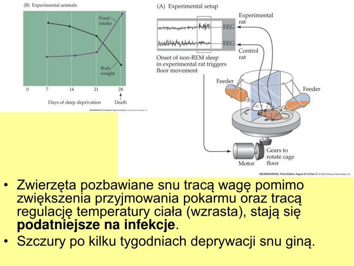 Zwierzta pozbawiane snu trac wag pomimo zwikszenia przyjmowania pokarmu oraz trac regulacj temperatury ciaa (wzrasta), staj si