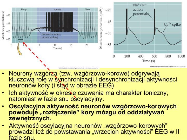 Neurony wzgrza (tzw. wzgrzowo-korowe) odgrywaj kluczow rol w synchronizacji i desynchronizacji aktywnoci neuronw kory (i std w obrazie EEG)