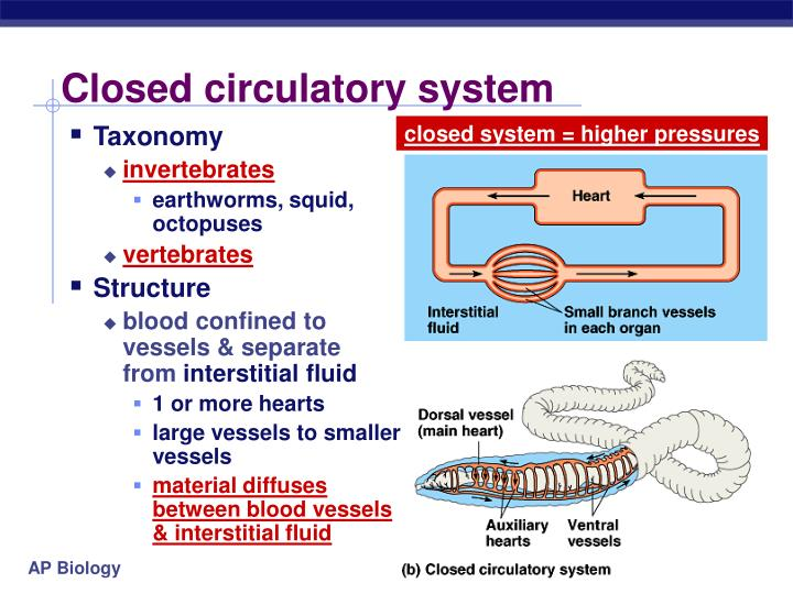 Closed circulatory system