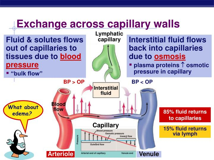 Exchange across capillary walls