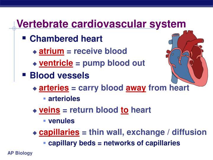 Vertebrate cardiovascular system