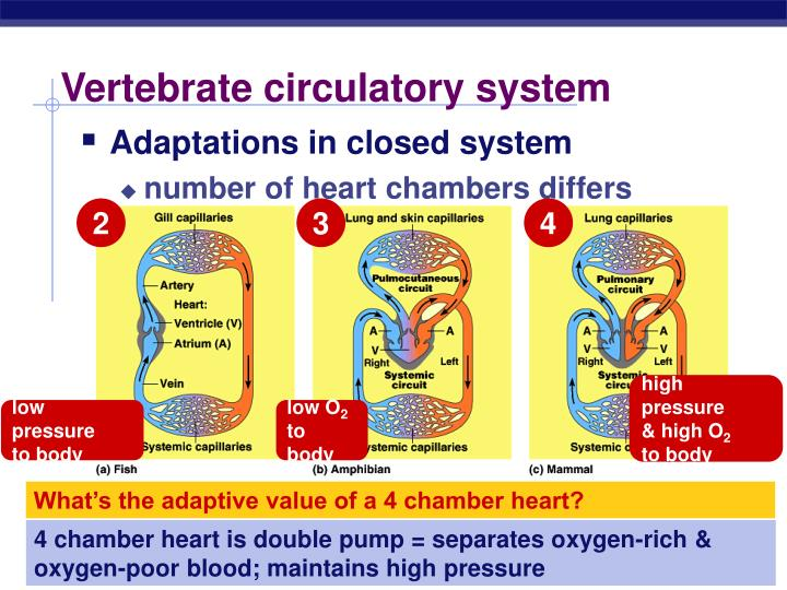 Vertebrate circulatory system