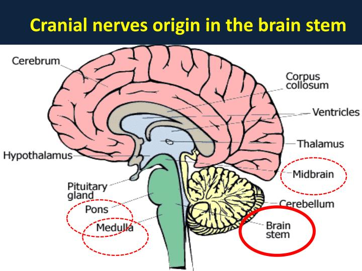 Cranial nerves origin in the brain stem