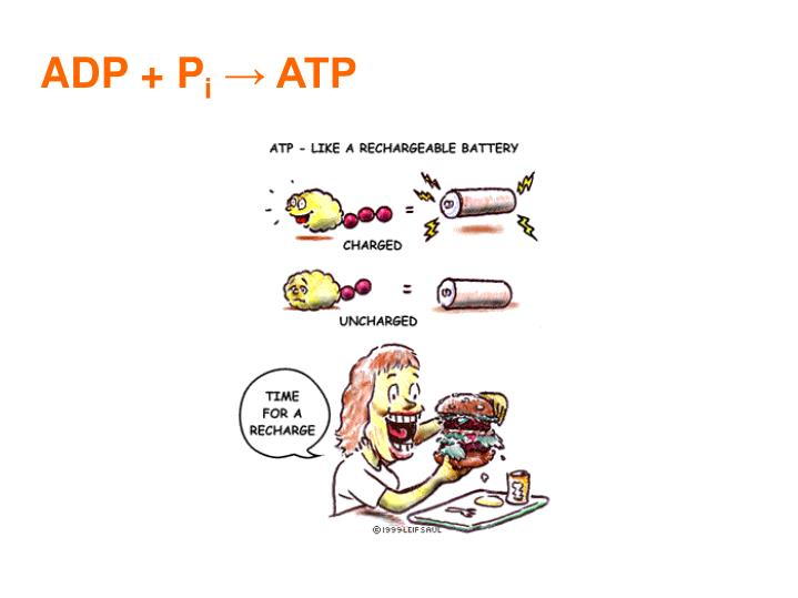 ADP + P