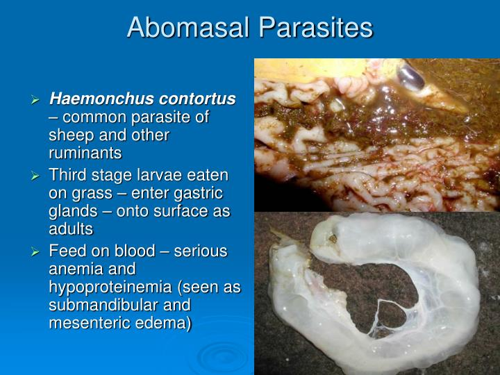 Abomasal Parasites