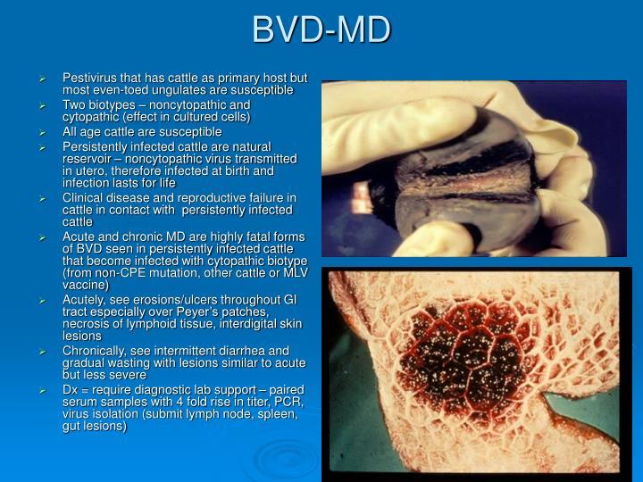 BVD-MD