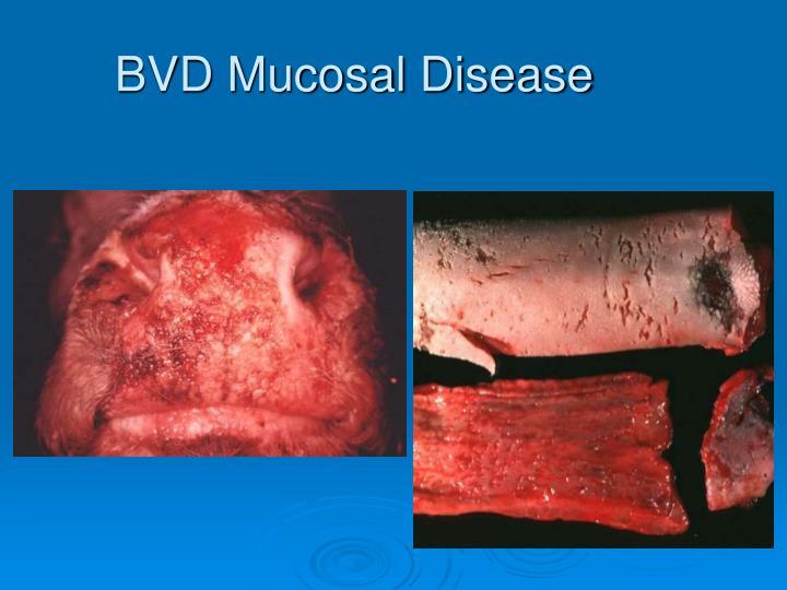 BVD Mucosal Disease