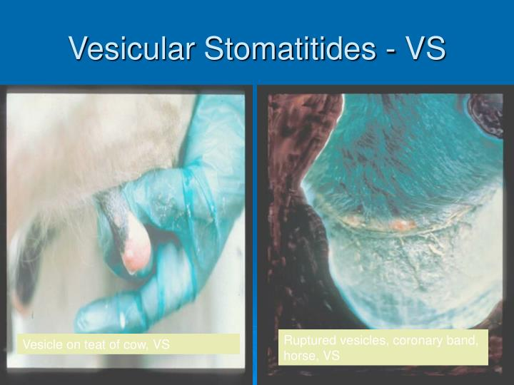 Vesicular Stomatitides - VS