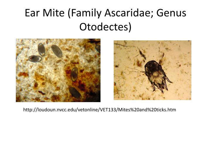 Ear Mite (Family