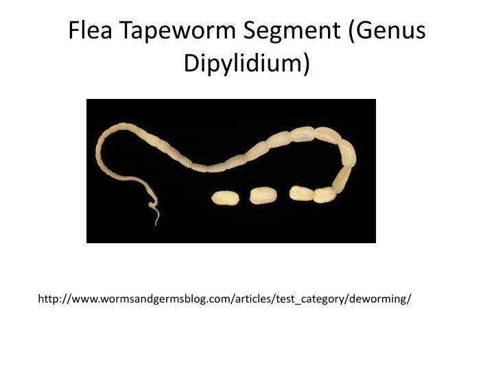 Flea Tapeworm Segment (Genus