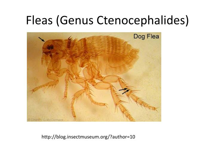 Fleas (Genus Ctenocephalides)