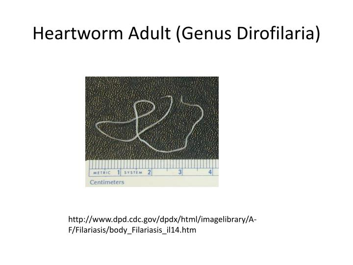 Heartworm Adult (Genus