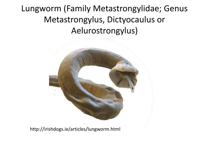 Lungworm (Family Metastrongylidae; Genus Metastrongylus, Dictyocaulus or Aelurostrongylus)