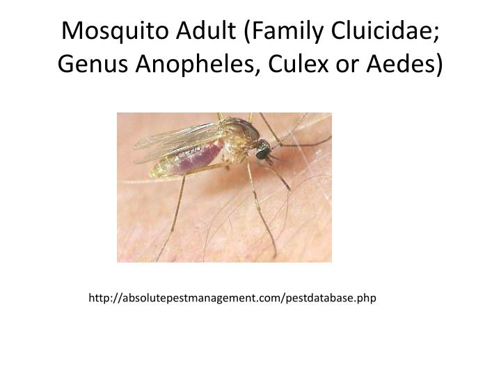Mosquito Adult (Family