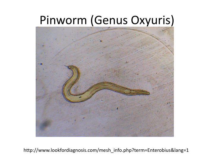 Pinworm (Genus Oxyuris)
