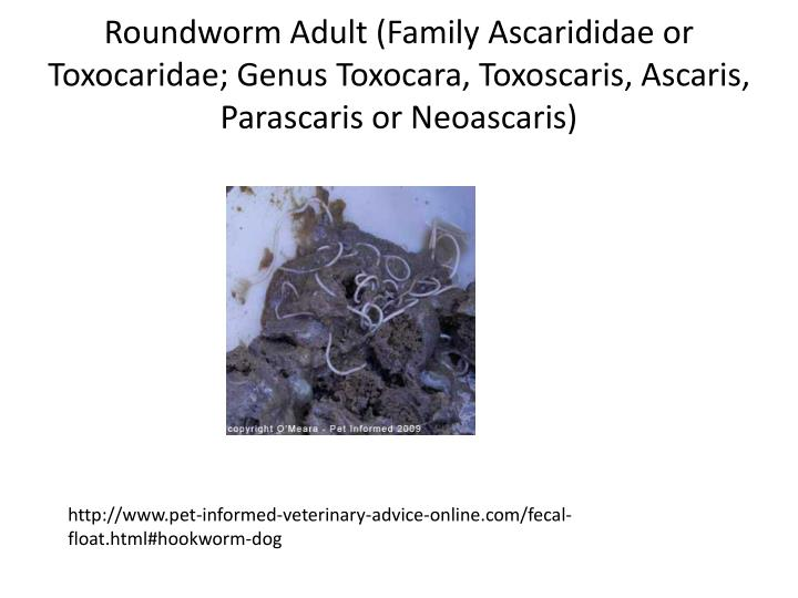 Roundworm Adult (Family Ascarididae or Toxocaridae; Genus Toxocara, Toxoscaris, Ascaris, Parascaris or Neoascaris)