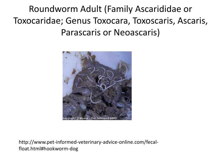 Roundworm Adult (Family Ascarididae or Toxocaridae; Genus Toxocara, Toxoscaris, Ascaris, Parascaris or Neoascaris)