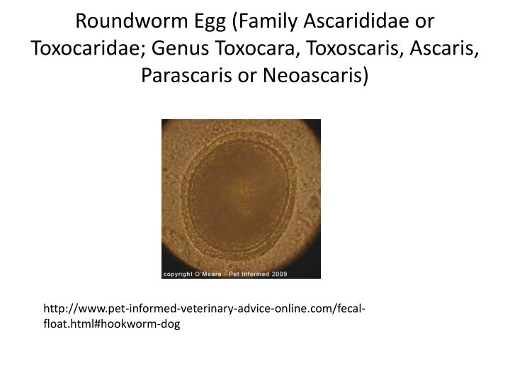 Roundworm Egg (Family Ascarididae or Toxocaridae; Genus Toxocara, Toxoscaris, Ascaris, Parascaris or Neoascaris)
