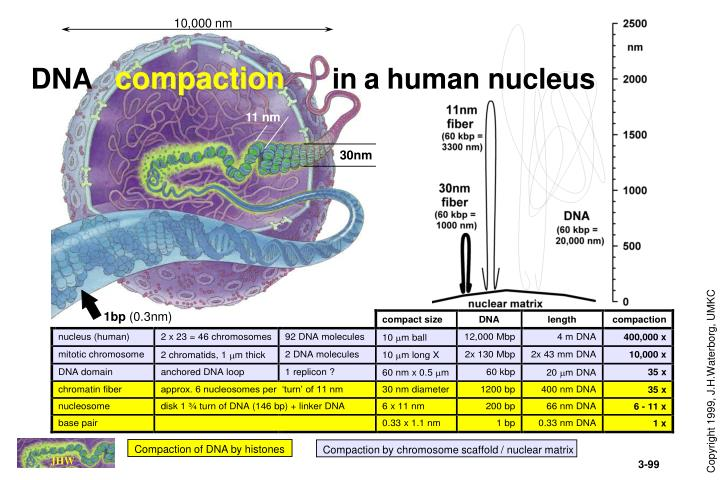 Dna compaction in a human nucleus