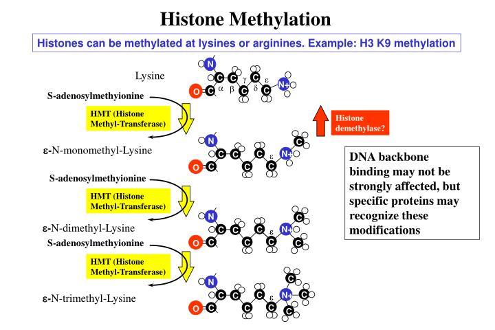 Histone Methylation