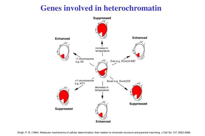 Genes involved in heterochromatin