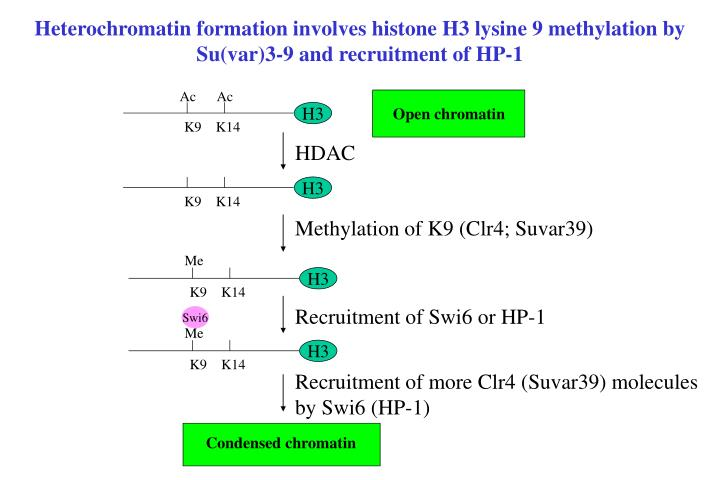 Heterochromatin formation involves histone H3 lysine 9 methylation by Su(var)3-9 and recruitment of HP-1