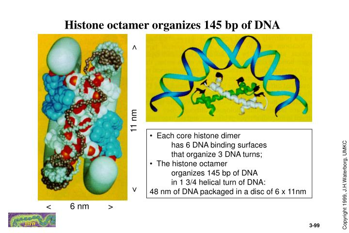 Histone octamer organizes 145 bp of DNA