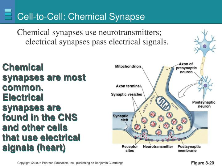 Cell-to-Cell: Chemical Synapse