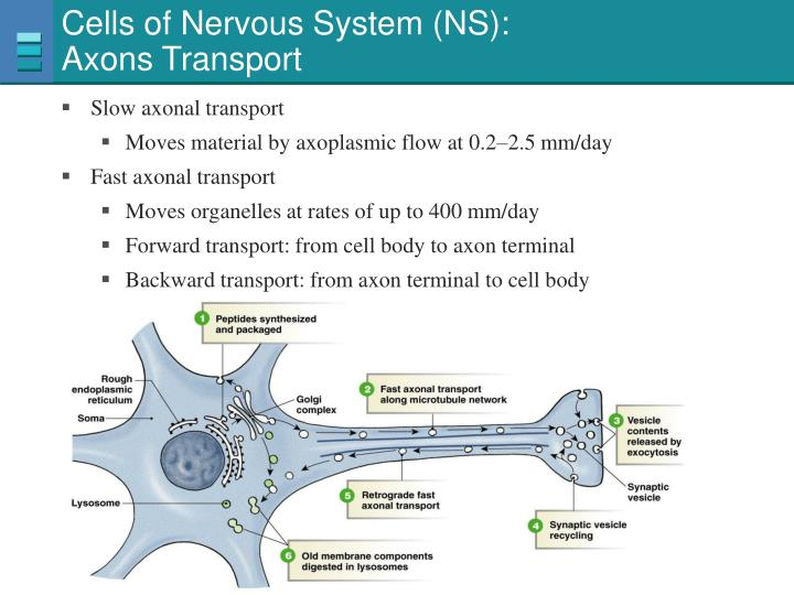 Cells of Nervous System (NS):