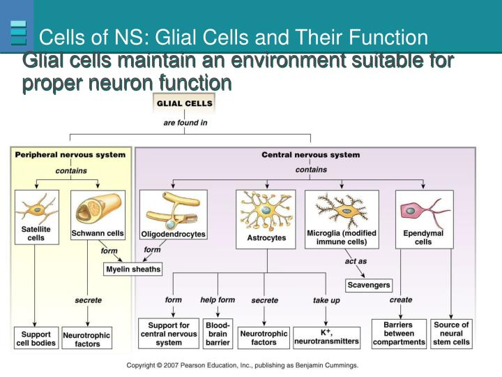 Cells of NS: Glial Cells and Their Function
