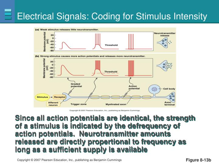 Electrical Signals: Coding for Stimulus Intensity