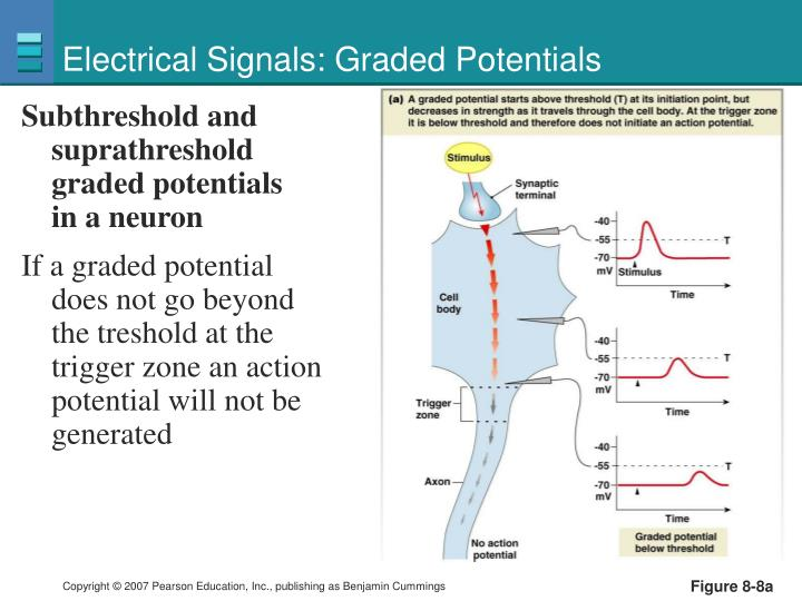 Electrical Signals: Graded Potentials