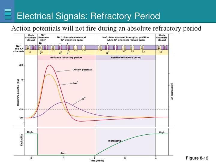 Electrical Signals: Refractory Period