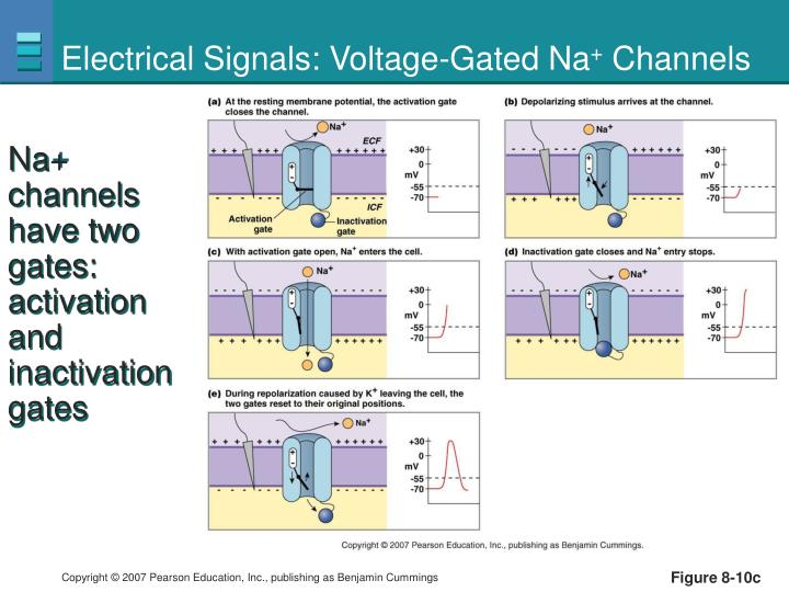 Electrical Signals: Voltage-Gated Na