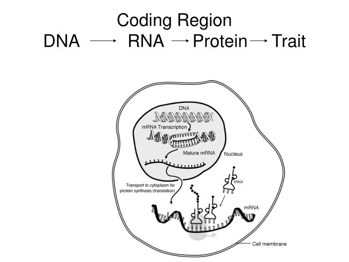 Coding Region