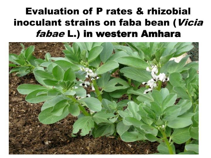 Evaluation of P rates & rhizobial inoculant strains on faba bean (