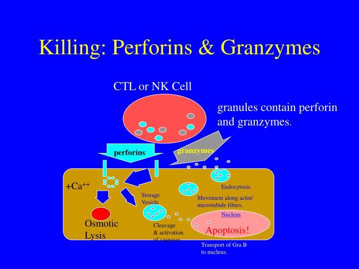 Killing: Perforins & Granzymes