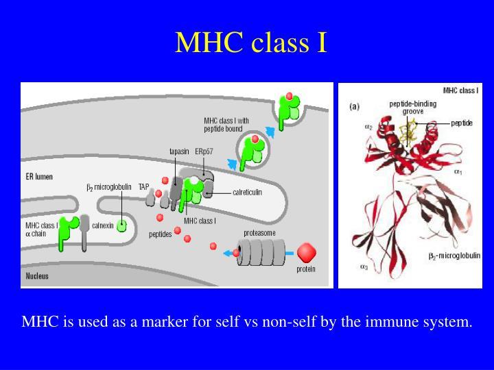 MHC class I