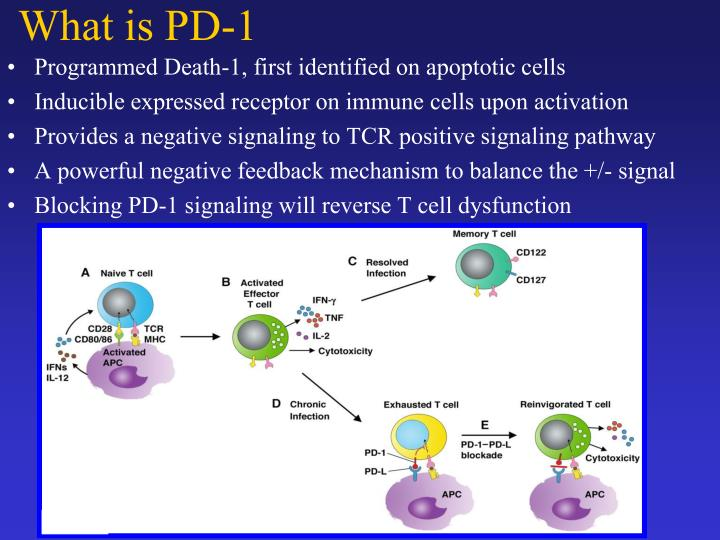 Programmed Death-1, first identified on apoptotic cells