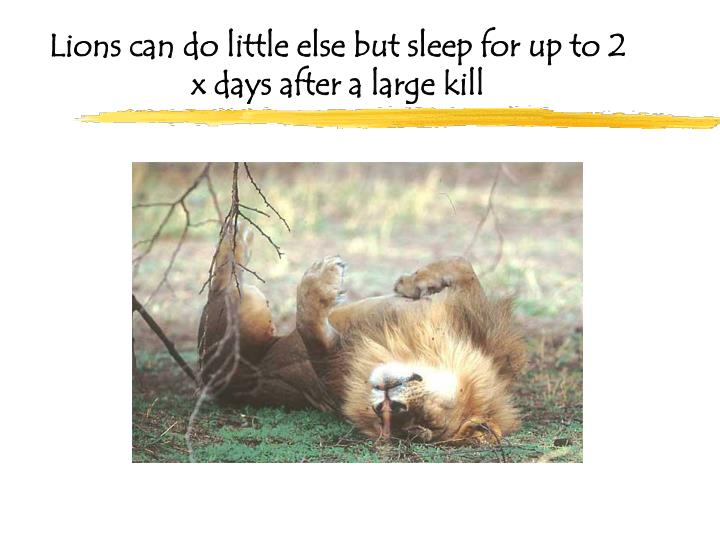 Lions can do little else but sleep for up to 2 x days after a large kill