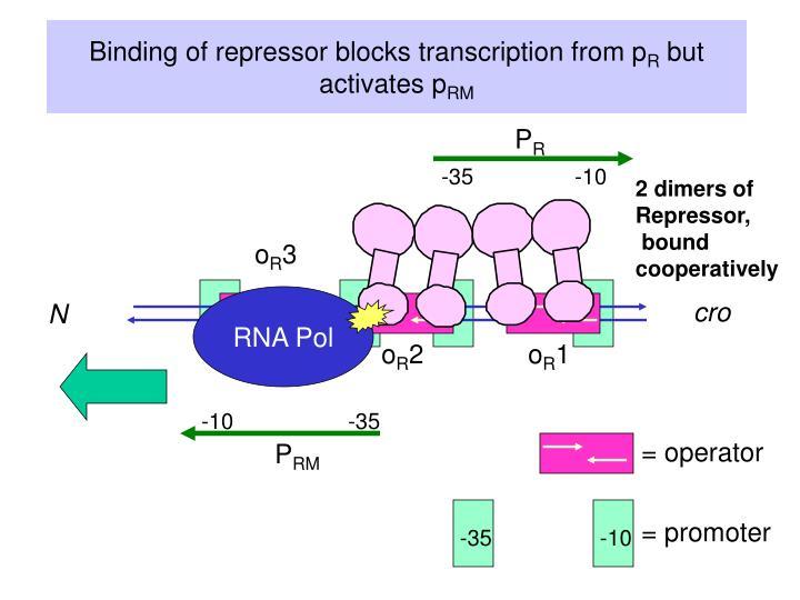 Binding of repressor blocks transcription from p