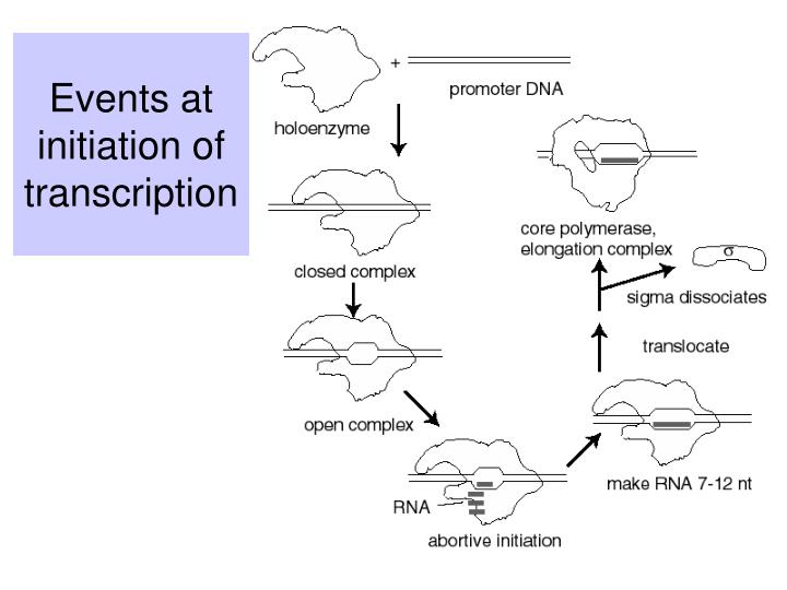 Events at initiation of transcription