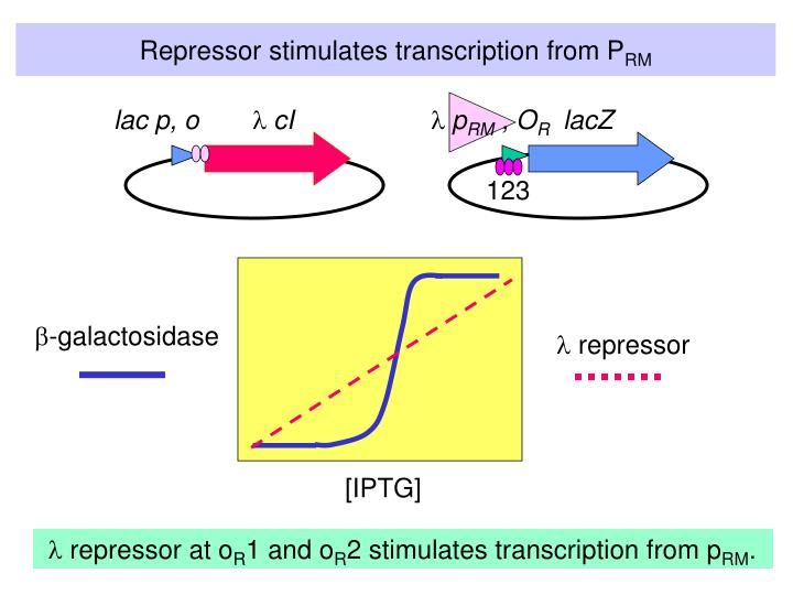 Repressor stimulates transcription from P