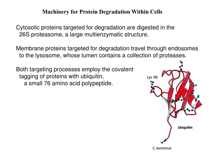 Machinery for Protein Degradation Within Cells