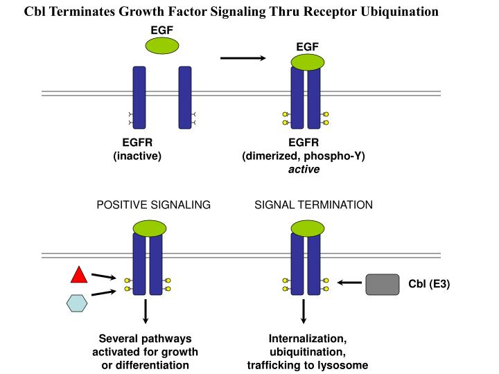 Cbl Terminates Growth Factor Signaling Thru Receptor Ubiquination