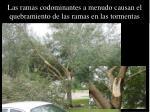 las ramas codominantes a menudo causan el quebramiento de las ramas en las tormentas