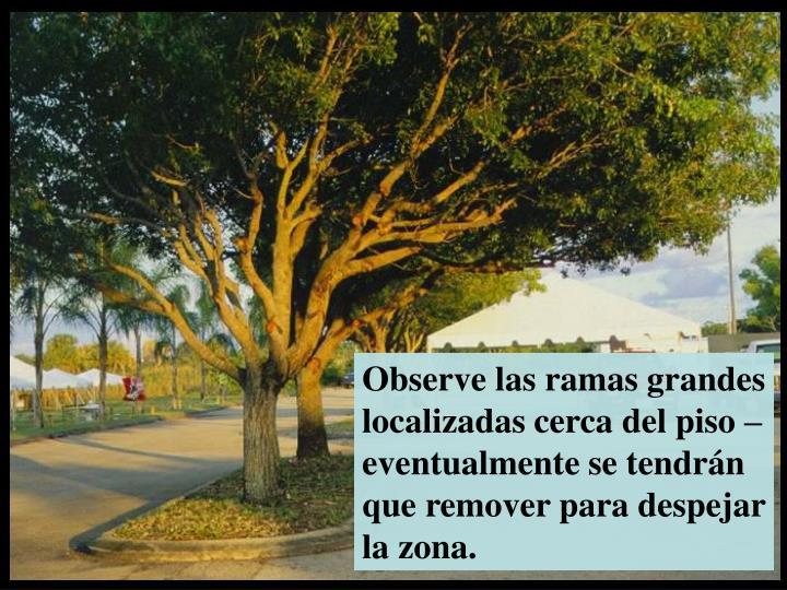 Observe las ramas grandes localizadas cerca del piso –eventualmente se tendrán que remover para despejar la zona.