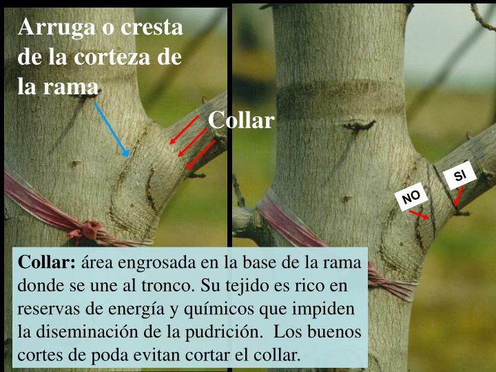 Arruga o cresta de la corteza de la rama