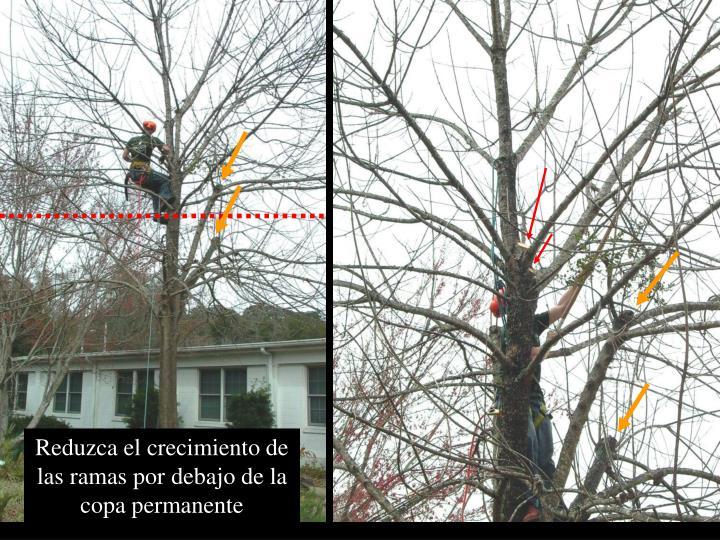 Reduzca el crecimiento de las ramas por debajo de la copa permanente