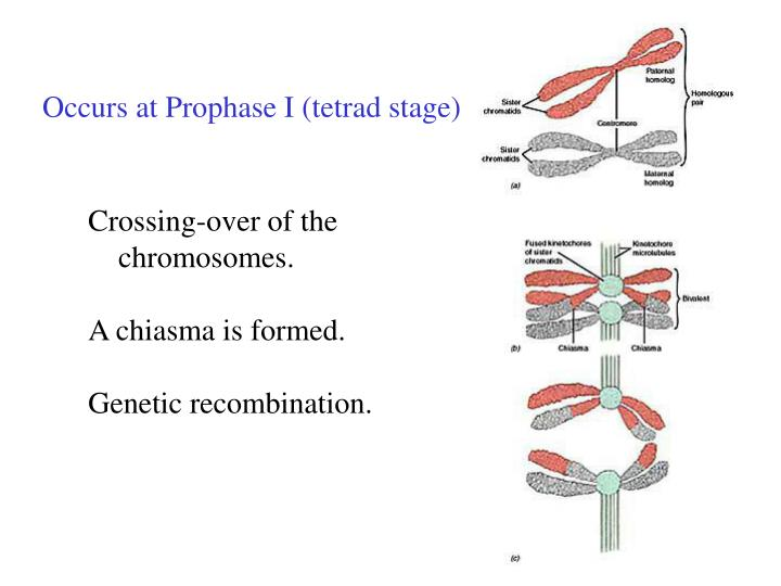 Occurs at Prophase I (tetrad stage)